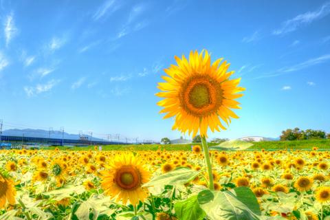 2017_09_03_sunflower_003.jpg