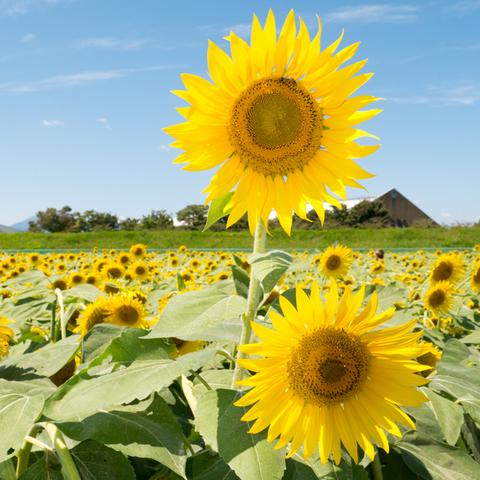 2017_09_03_sunflower_006.jpg