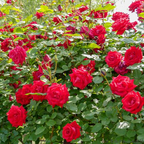 2018_05_13_rose_001.jpg